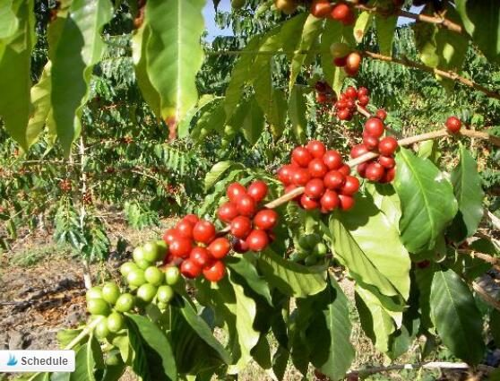 kona-coffee-tree